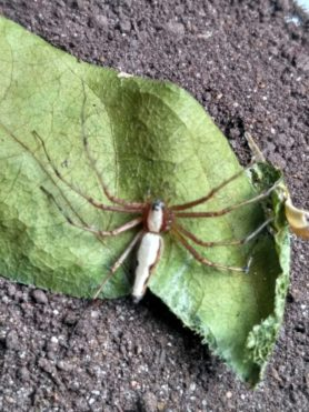 Picture of Oxyopes spp. - Dorsal