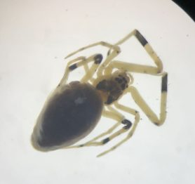 Picture of Zosis geniculata (Grey House Spider) - Female - Dorsal,Eyes