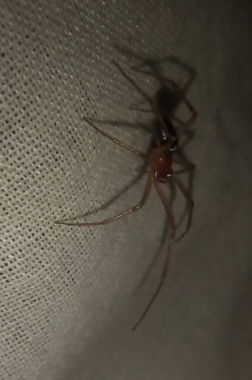 Picture of Theridiidae (Cobweb Weavers) - Male - Lateral