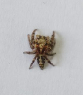 Picture of Hyllus semicupreus (Heavy-bodied Jumper) - Dorsal