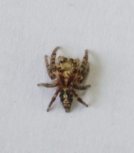 Picture of Hyllus semicupreus (Heavy-bodied Jumper) - Dorsal