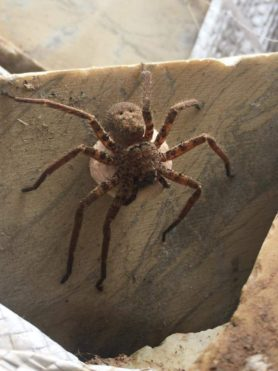 Picture of Sparassidae (Giant Crab Spiders) - Female - Dorsal,Egg sacs