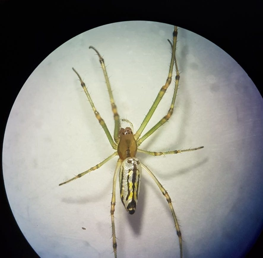 Picture of Leucauge decorata (Decorative Silver Orb Spider) - Dorsal