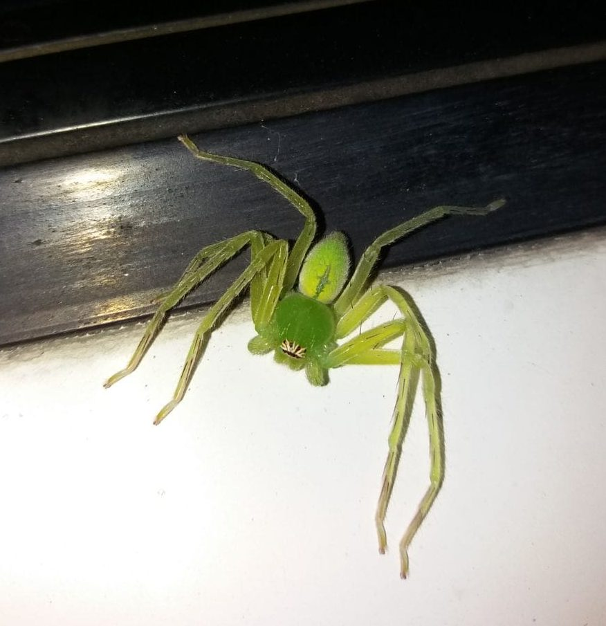 Picture of Olios milleti (Green Crab Spider) - Dorsal