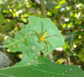 Picture of Oxyopes spp. - Male - Dorsal