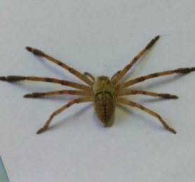 Picture of Olios spp. - Dorsal