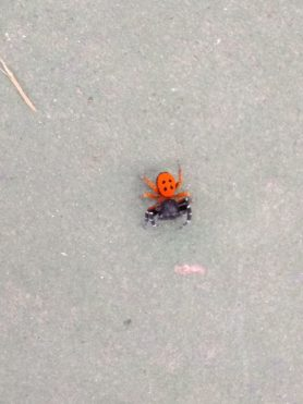Picture of Eresus spp. (Ladybird Spiders) - Dorsal
