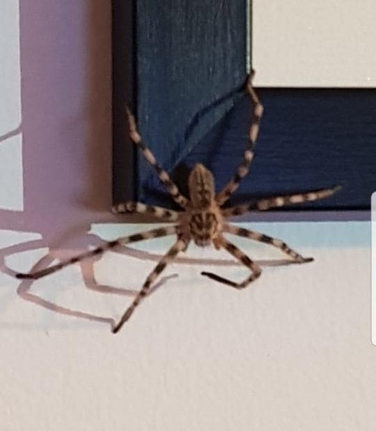 Picture of Eusparassus (Stone Huntsman Spiders) - Dorsal