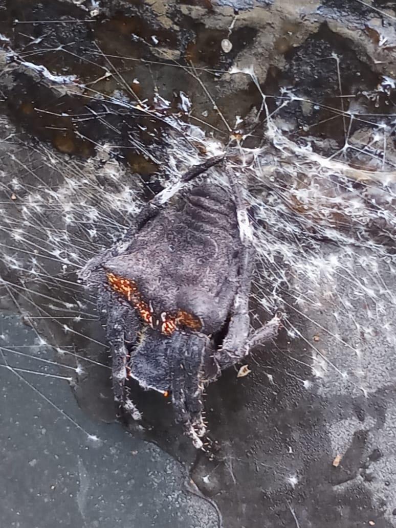 Picture of Araneidae (Orb-weavers) - Dorsal,Webs