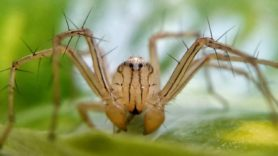 Picture of Oxyopidae (Lynx Spiders) - Male - Eyes