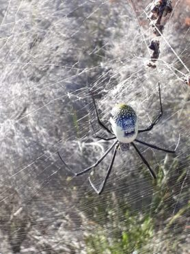 Picture of Nephila fenestrata (Hairy Golden Orb-weaver) - Dorsal,Webs