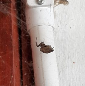 Picture of Araneidae (Orb-weavers) - Lateral,Webs