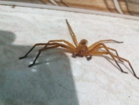 Picture of Sparassidae (Giant Crab Spiders) - Male - Dorsal,Eyes