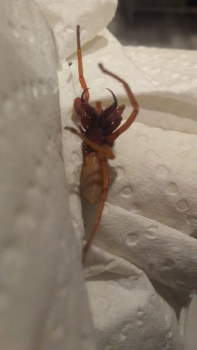 Picture of Dysderidae (Dysderid Spiders) - Ventral