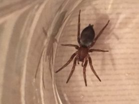 Picture of Scotophaeus blackwalli (Mouse Spider) - Dorsal