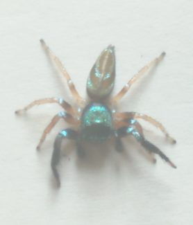 Picture of Thiania bhamoensis (Fighting Spider) - Male - Dorsal