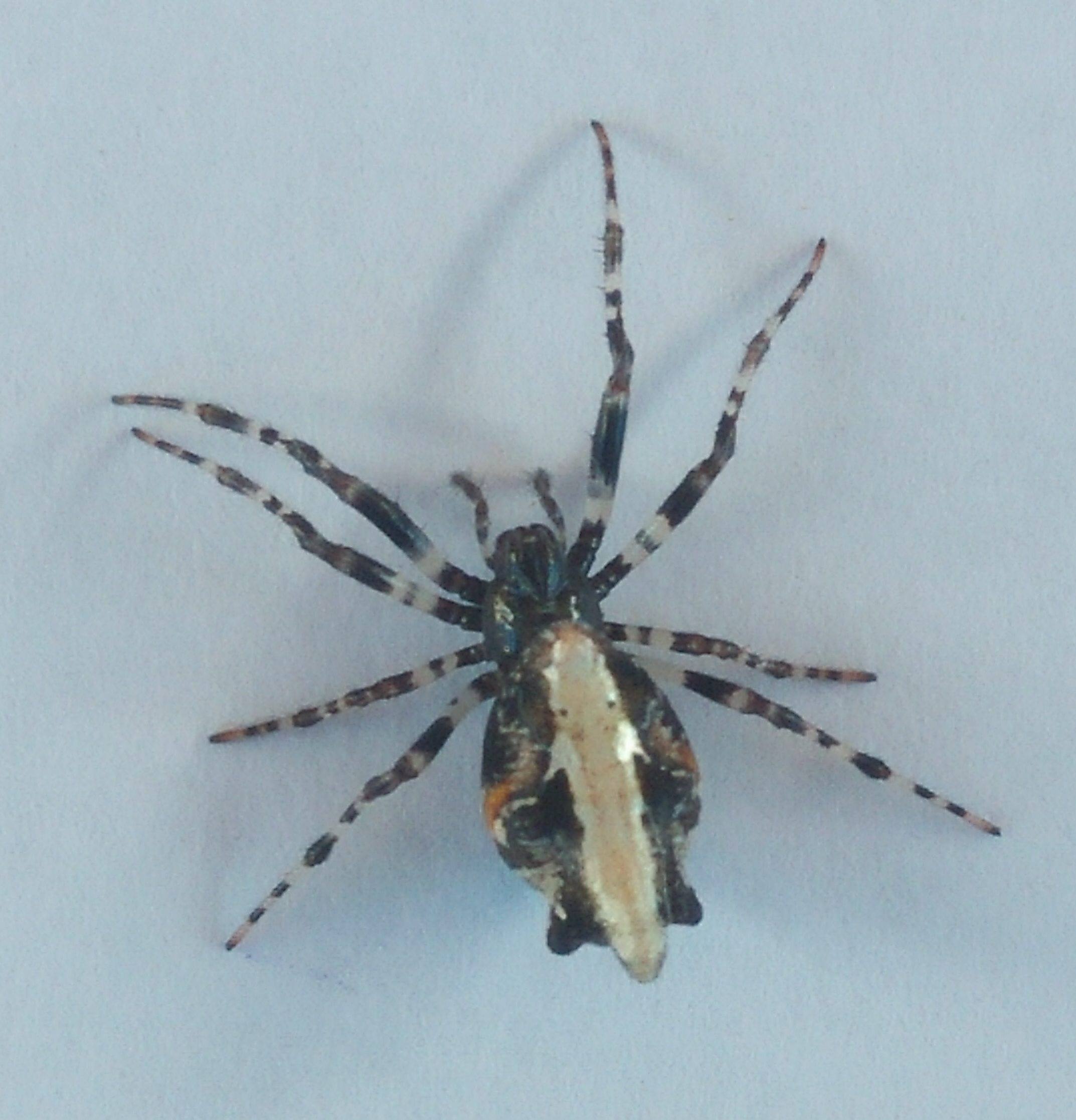 Picture of Cyclosa hexatuberculata - Female - Dorsal