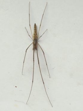 Picture of Tetragnathidae (Long-jawed Orb-weavers) - Dorsal