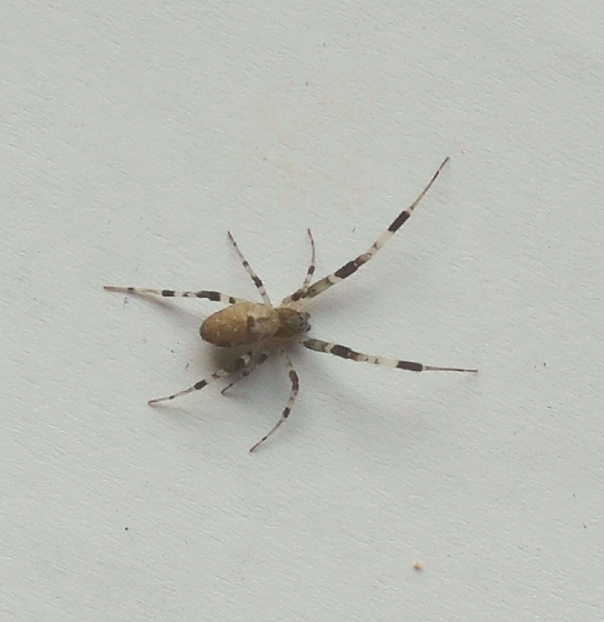 Picture of Zosis geniculata (Grey House Spider) - Dorsal