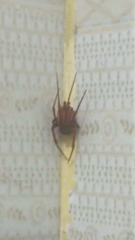 Picture of Theridiidae (Cobweb Weavers) - Male - Dorsal