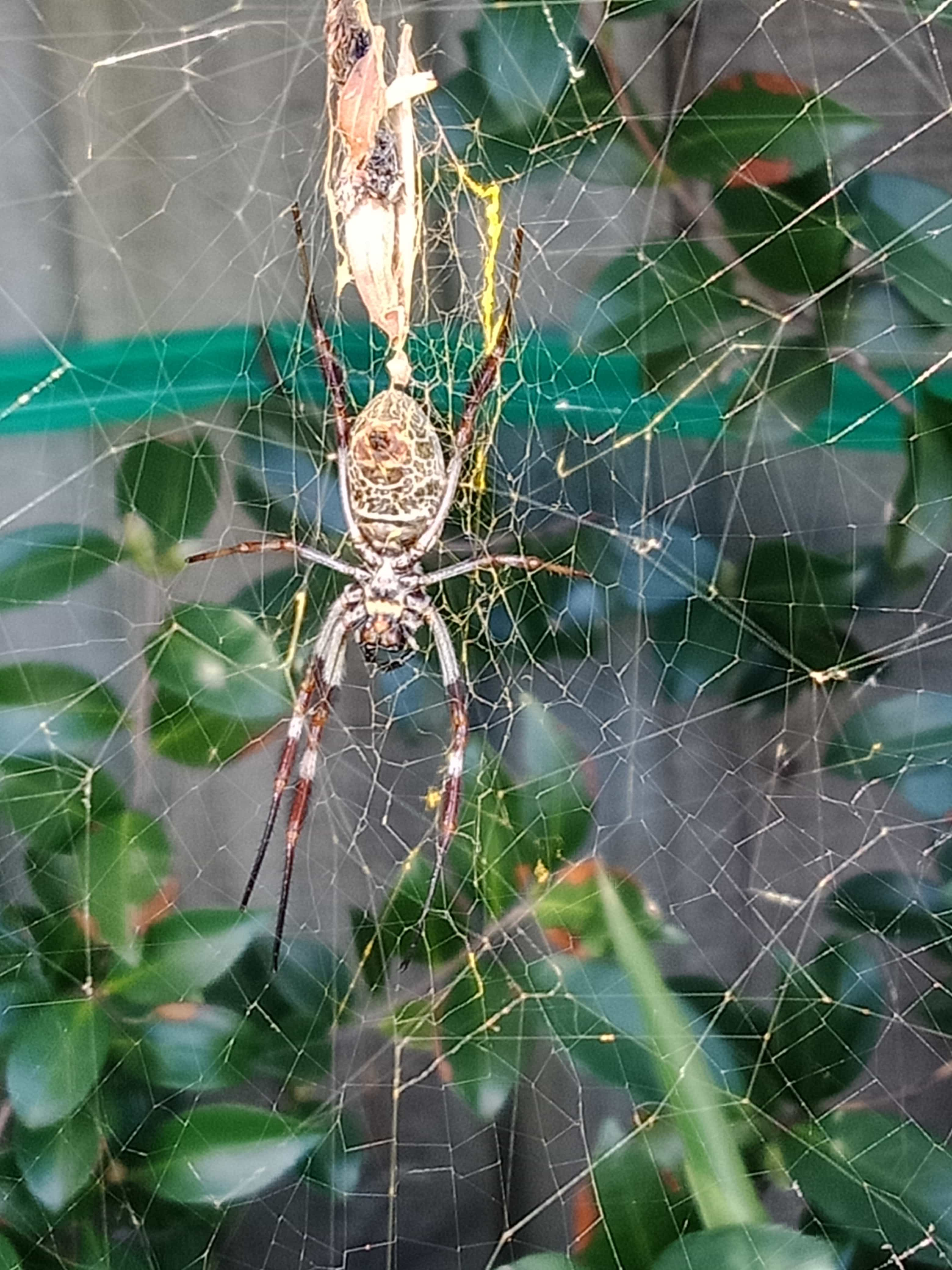 Picture of Nephila edulis (Australian Golden Orb-weaver) - Ventral,Webs