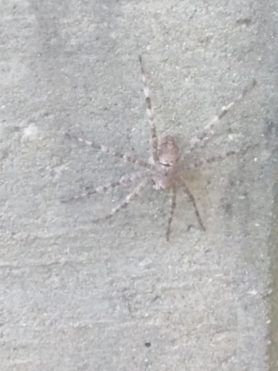 Picture of Dolomedes albineus (White-banded Fishing Spider) - Dorsal