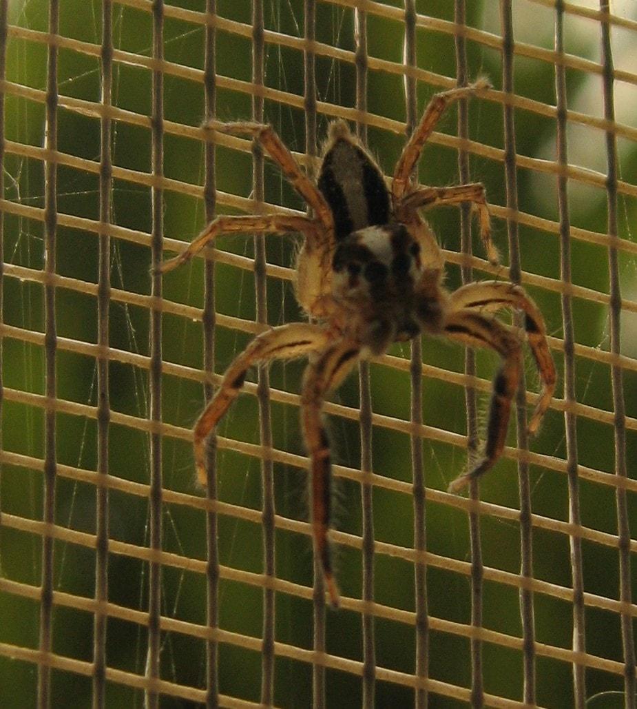 Picture of Plexippus paykulli (Pantropical Jumper) - Male - Dorsal