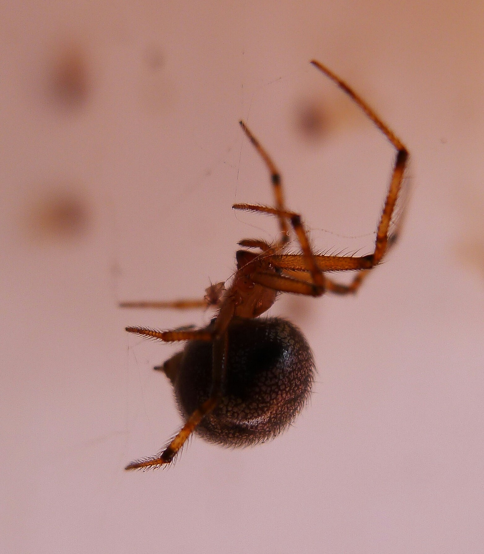 Picture of Theridiidae (Cobweb Weavers) - Lateral