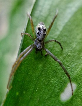 Picture of Cyrtophora cicatrosa - Dorsal