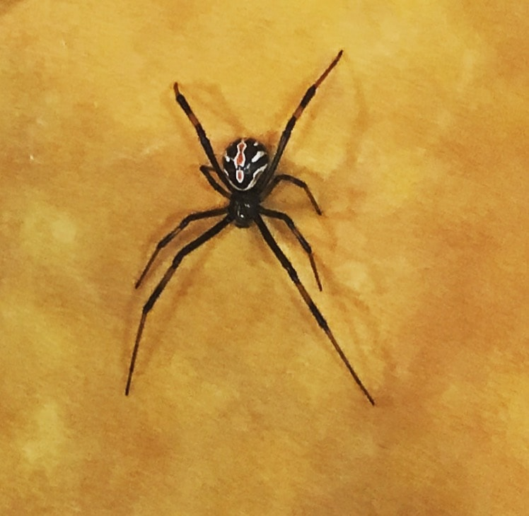 Picture of Latrodectus hesperus (Western Black Widow) - Dorsal