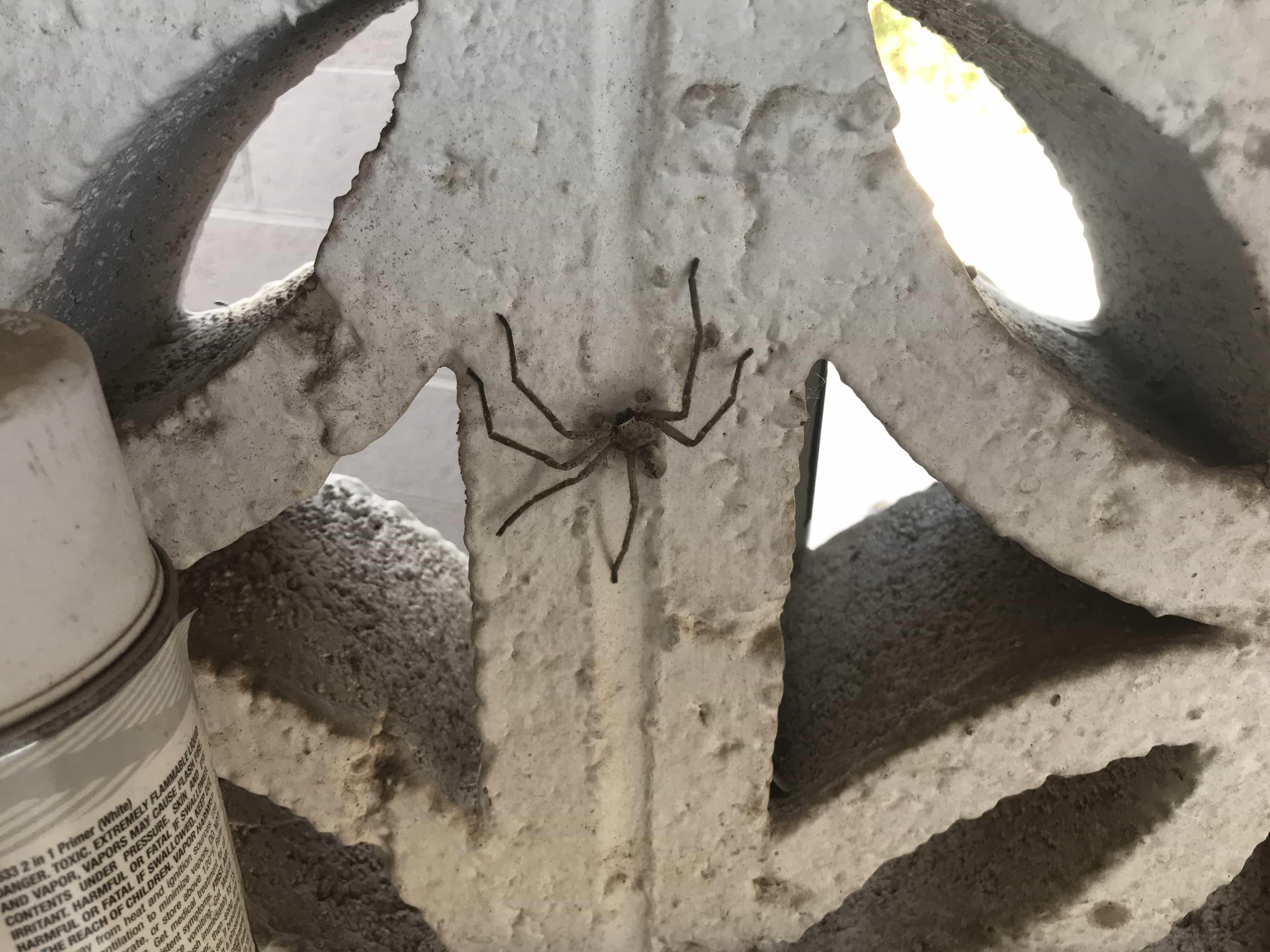 Picture of Olios giganteus (Giant Crab Spider) - Dorsal
