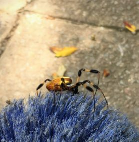 Picture of Nephila clavipes (Golden Silk Orb-weaver) - Female - Lateral
