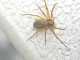 Picture of Philodromus spp. - Dorsal