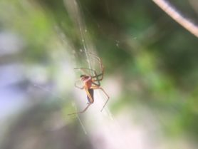 Picture of Frontinella pyramitela (Bowl and Doily Weaver) - Male - Lateral,Webs