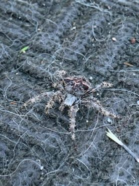 Picture of Araneus spp. (Angulate & Round-shouldered Orb-weavers)