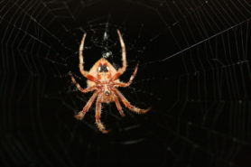 Picture of Neoscona crucifera (Hentz Orb-weaver) - Female - Ventral