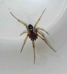 Picture of Steatoda grossa (False Black Widow) - Male - Dorsal