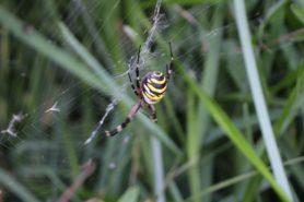 Picture of Argiope bruennichi (Wasp Spider) - Dorsal,Webs