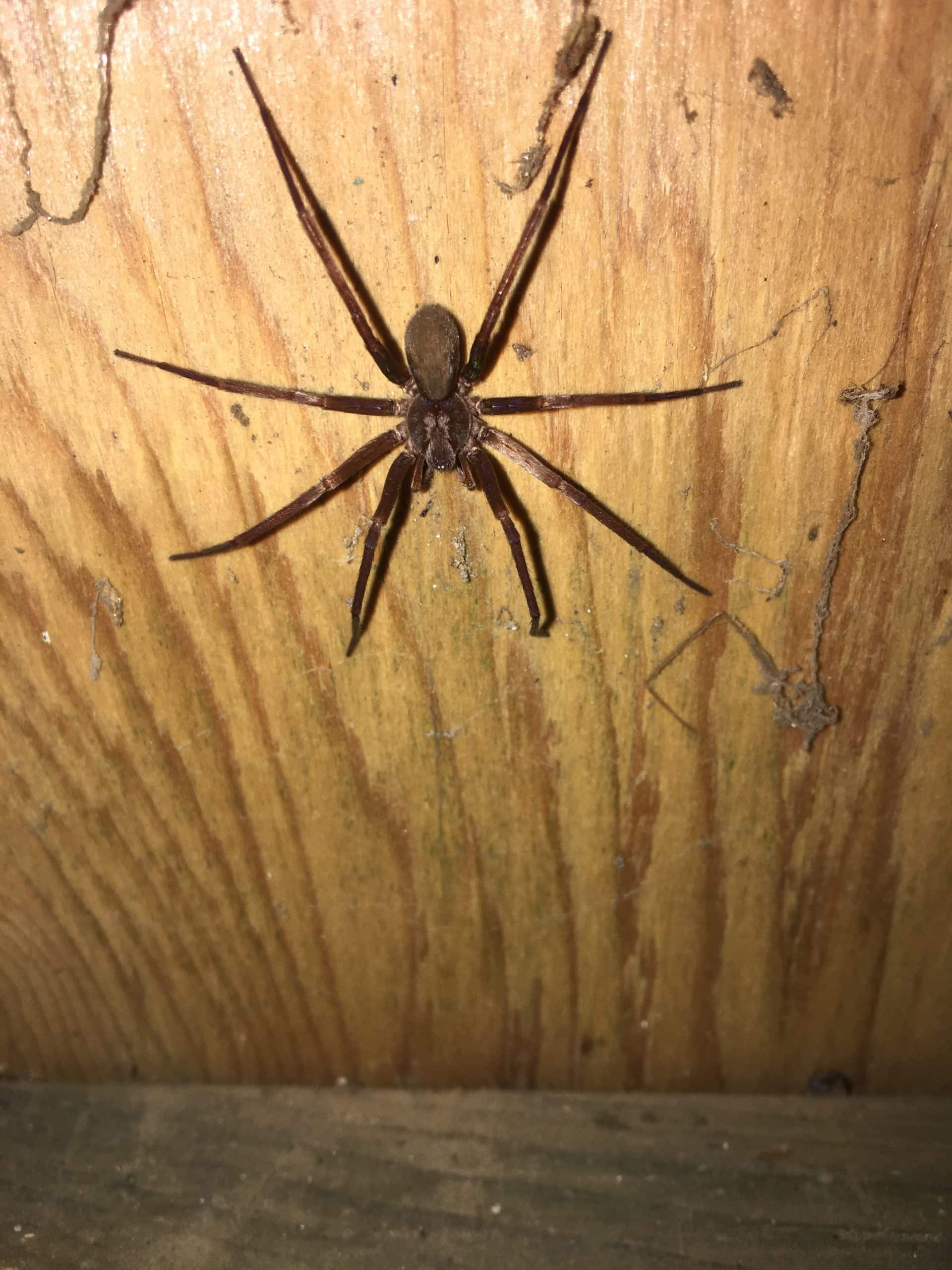 Picture of Zoropsidae (False Wolf Spiders) - Dorsal