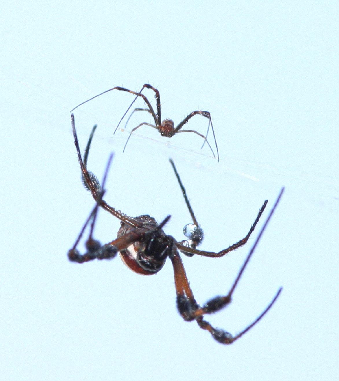 Picture of Trichonephila clavipes (Golden Silk Orb-weaver) - Male,Female