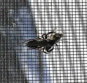 Picture of Platycryptus undatus (Tan Jumping Spider) - Dorsal,Prey