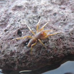 Featured spider picture of Dysdera curviseta