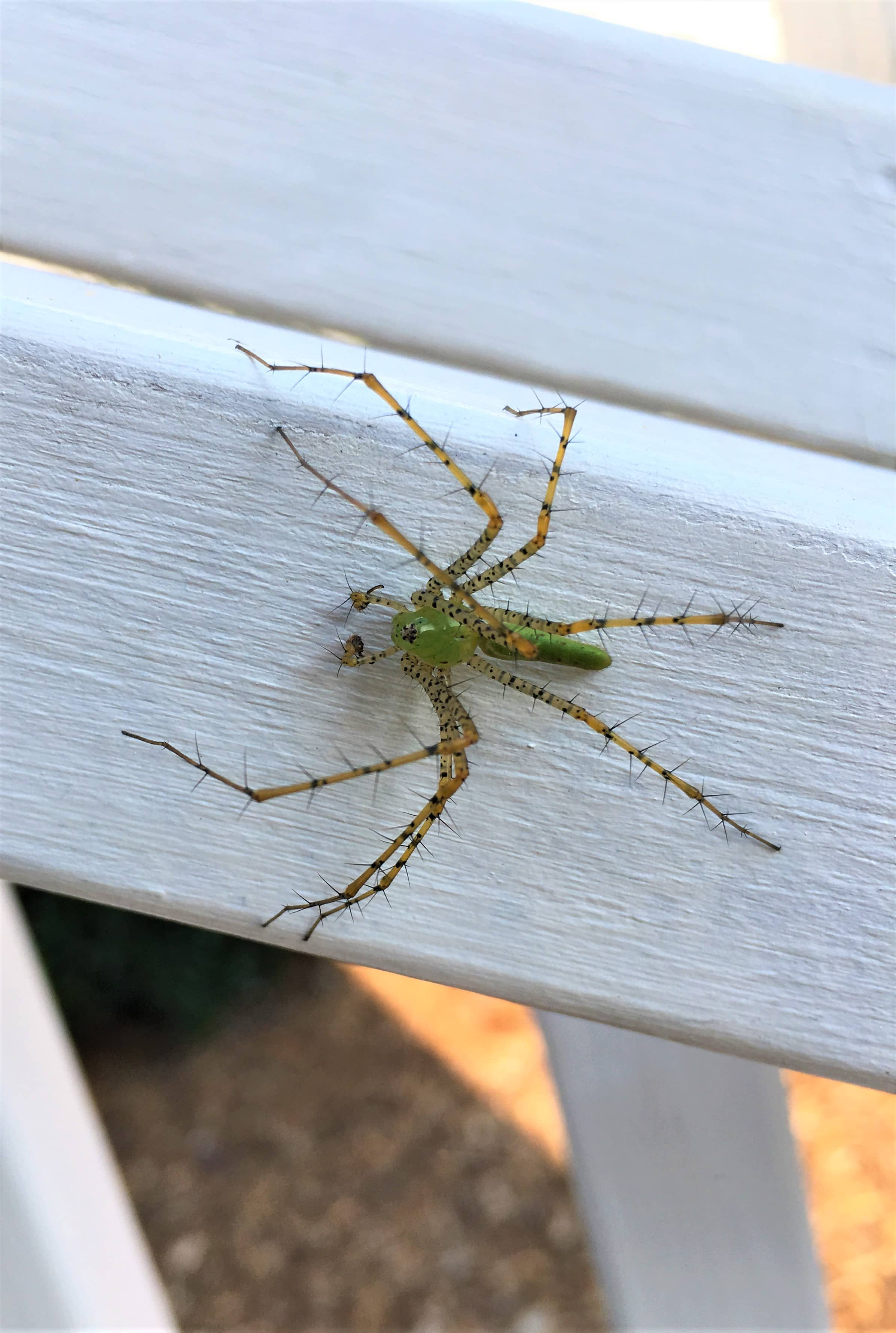 Picture of Peucetia viridans (Green Lynx Spider) - Male - Dorsal,Eyes