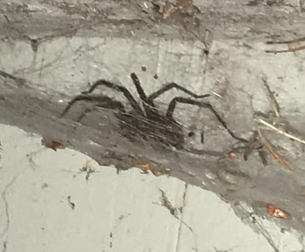 Picture of Agelenidae (Funnel Weavers) - Lateral,Webs,In Retreat