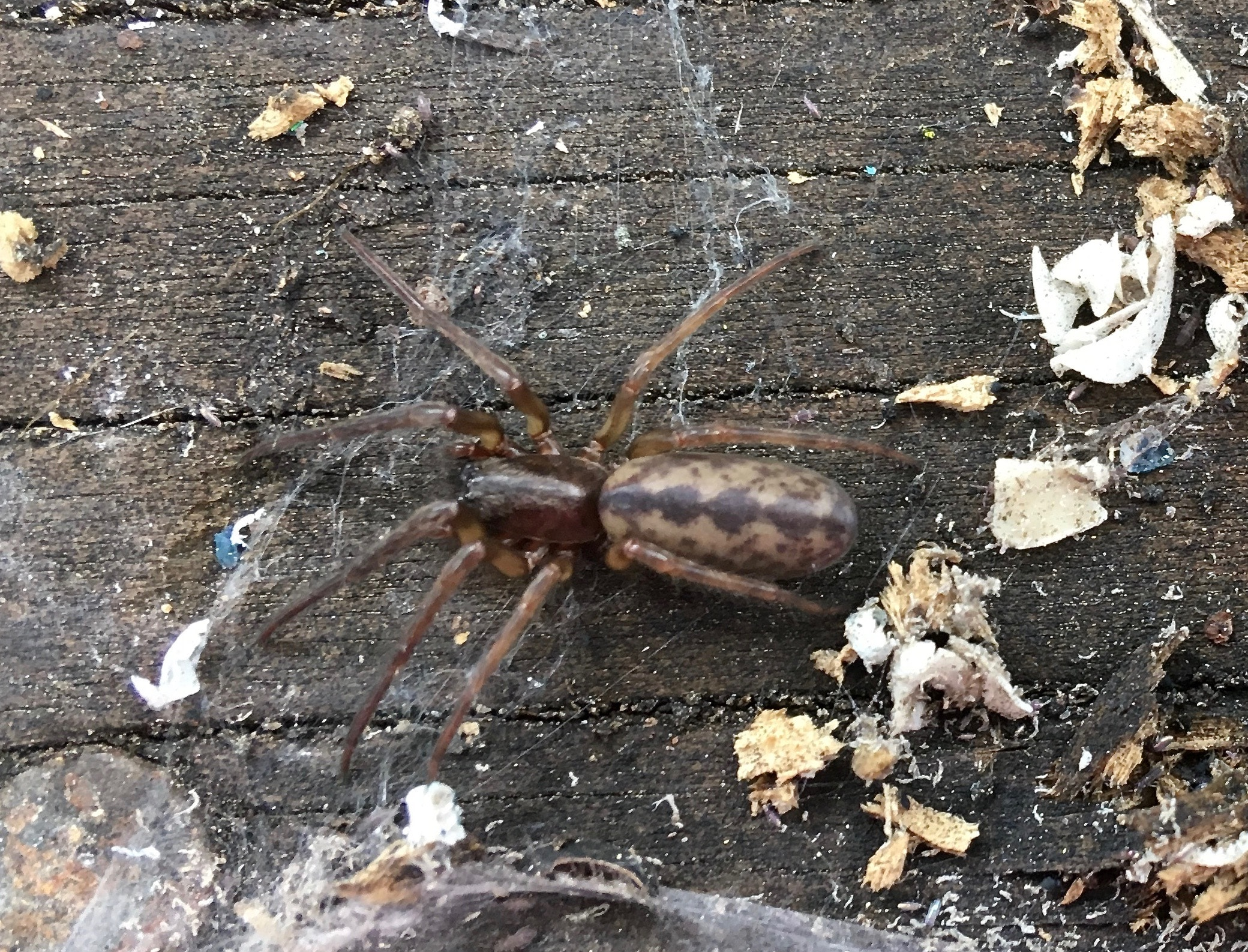 Picture of Segestria pacifica - Dorsal,Webs