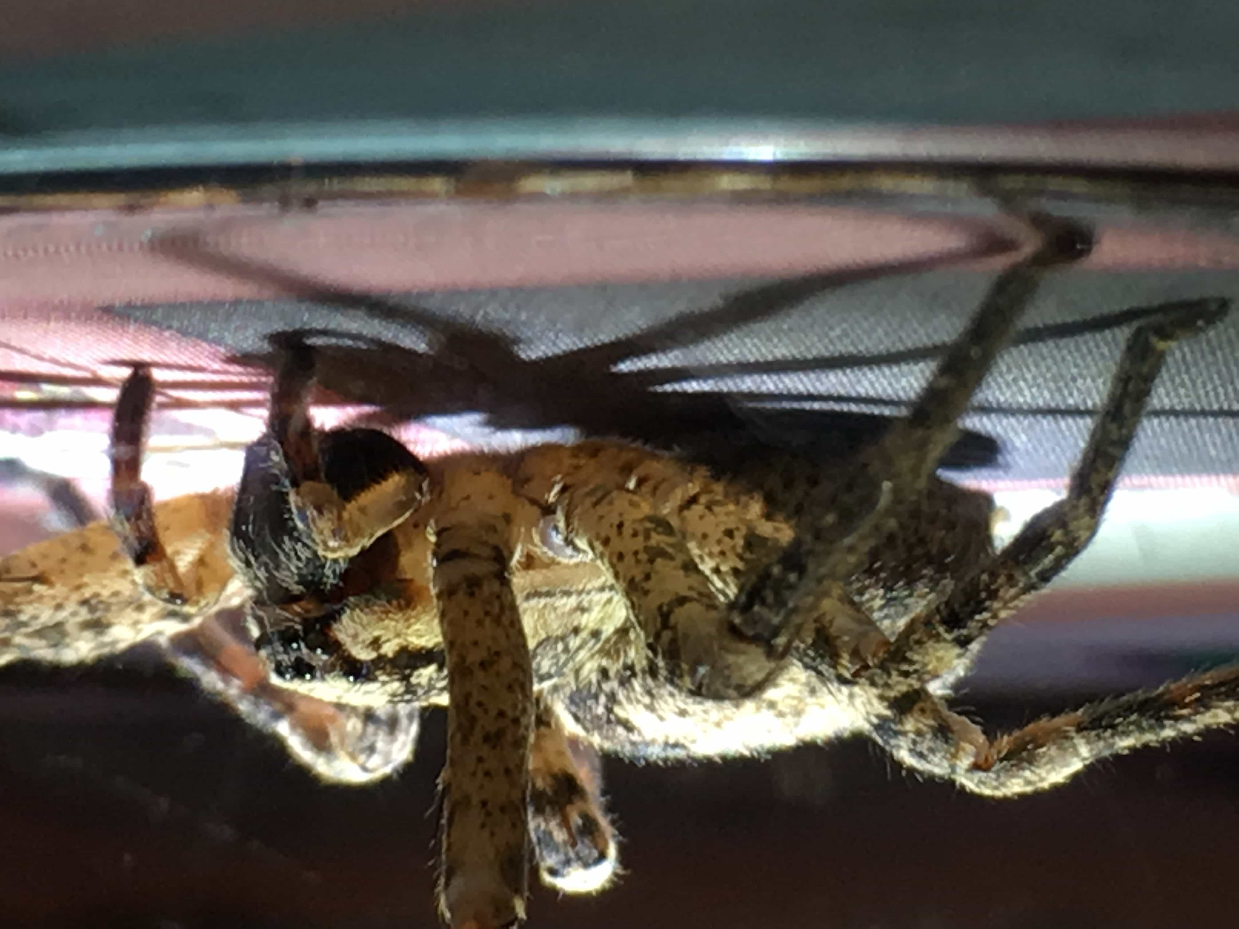 Picture of Zoropsis spinimana - Female - Lateral