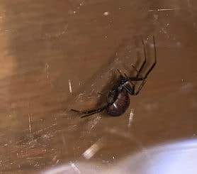 Picture of Steatoda spp. (False Widows) - Lateral,Webs