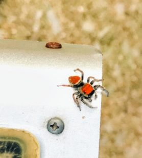 Picture of Phidippus whitmani - Male - Dorsal