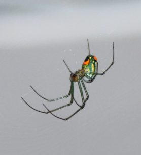 Picture of Leucauge argyrobapta (Mabel Orchard Orb-weaver) - Lateral