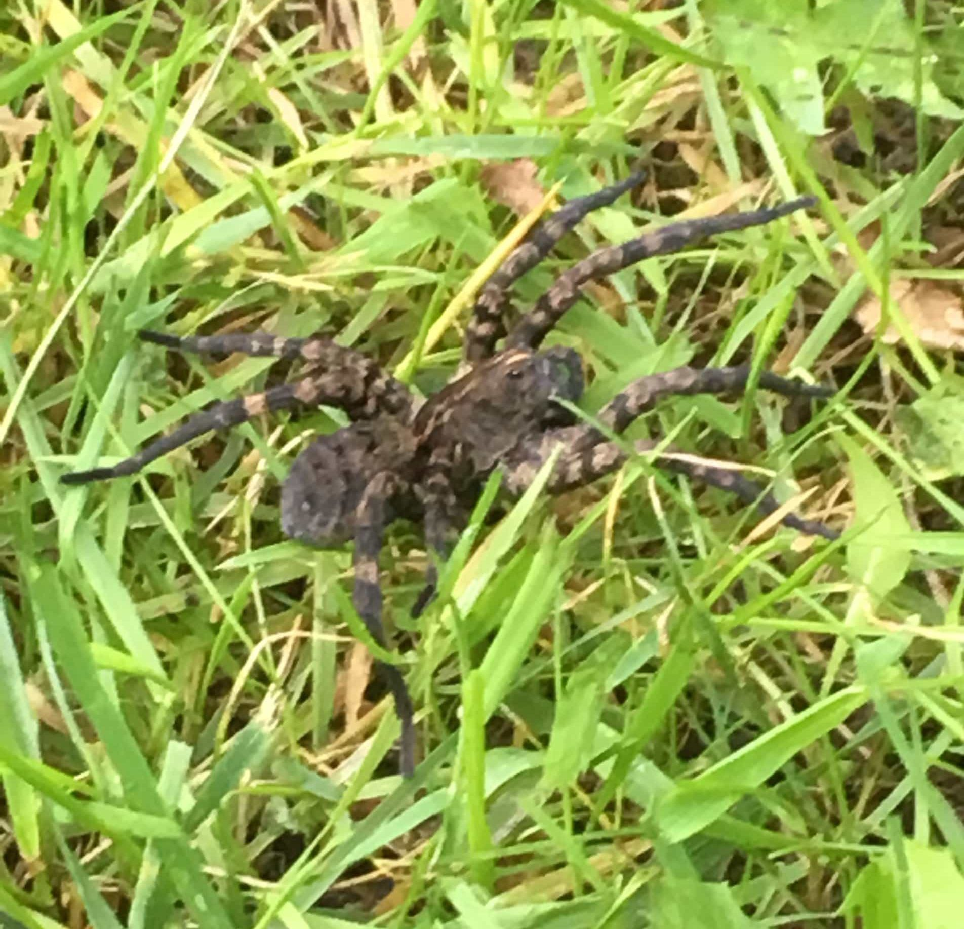 Picture of Tigrosa aspersa (Tiger Wolf Spider) - Lateral